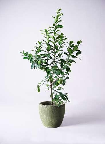 果樹 レモンの木 8号 リスボン アビスソニアミドル 緑 付き