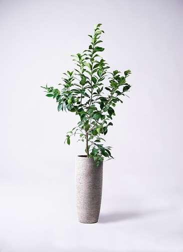 観葉植物 レモン リスボン8号 エコストーントールタイプ Gray 付き