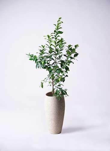 観葉植物 レモン リスボン8号 エコストーントールタイプ Light Gray 付き