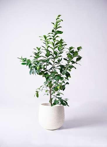 観葉植物 レモン リスボン8号 エコストーンwhite 付き