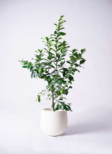 果樹 レモン 8号 リスボン エコストーンwhite 付き