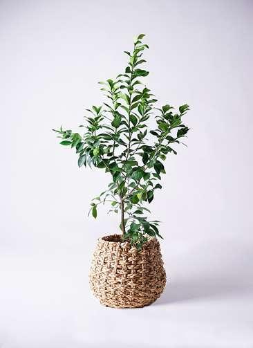 観葉植物 レモン リスボン8号 ラッシュバスケット Natural 付き