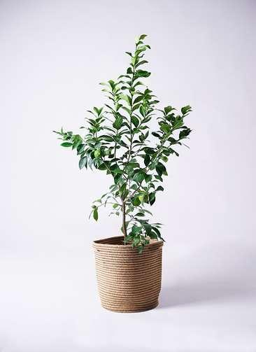 観葉植物 レモン リスボン8号 リブバスケットNatural 付き