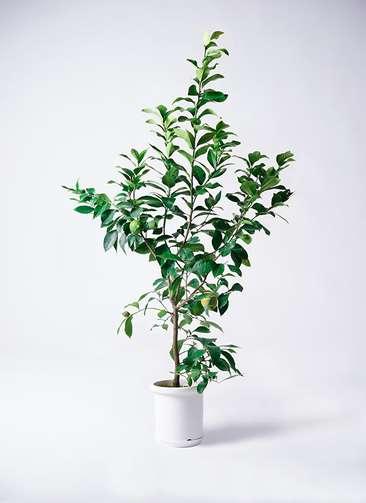 観葉植物 レモン リスボン8号 プラスチック鉢
