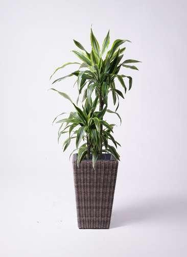 観葉植物 ドラセナ ワーネッキー レモンライム 8号 ウィッカーポット スクエアロング OT 茶 付き