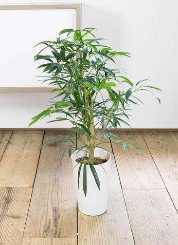 観葉植物 シェフレラ アンガスティフォリア 7号 ボサ造り プラスチック鉢