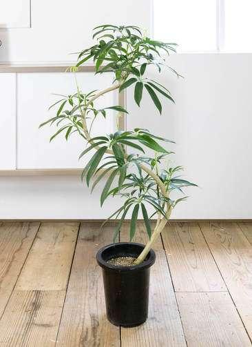 観葉植物 シェフレラ アンガスティフォリア 曲り8号 プラスチック鉢