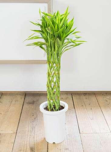 観葉植物 ドラセナ ミリオンバンブー(幸運の竹) 7号 プラスチック鉢