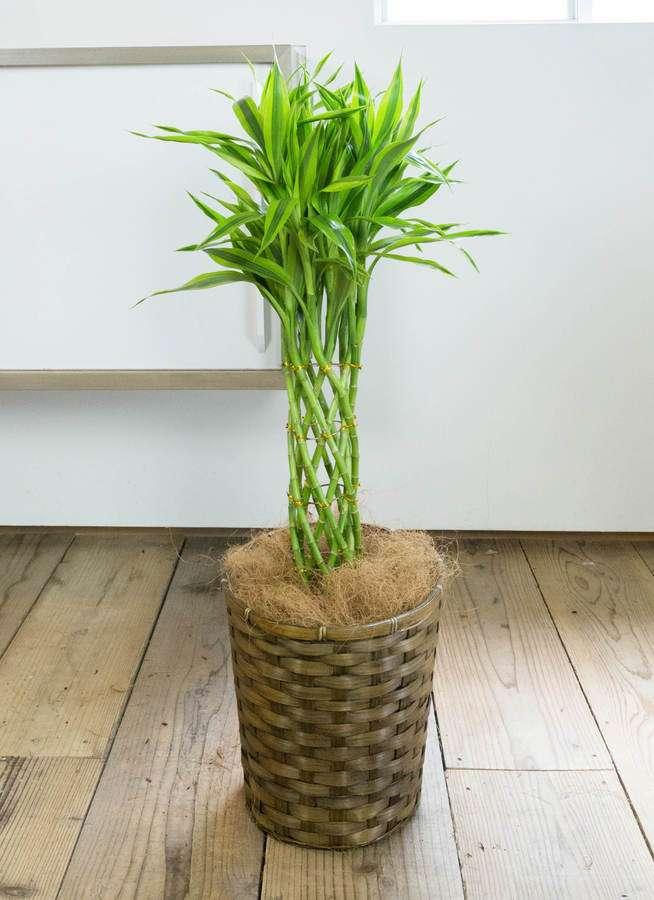 観葉植物 ドラセナ ミリオンバンブー(幸運の竹) 7号 竹バスケット 付き
