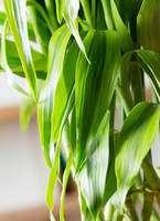 観葉植物 ドラセナ ミリオンバンブー(幸運の竹) 8号 黒丸 付き