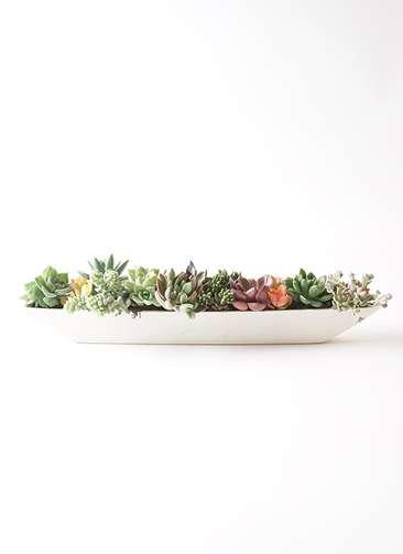 多肉植物 寄せ植え ポリストーン舟型ホワイト付き