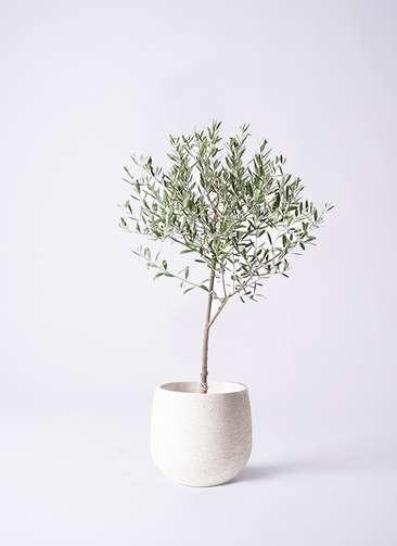 観葉植物 オリーブ 創樹 6号 エコストーンwhite 付き