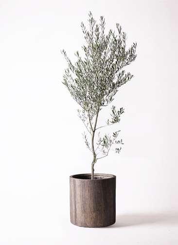 観葉植物 オリーブ 10号 創樹 アルファシリンダープランター 付き