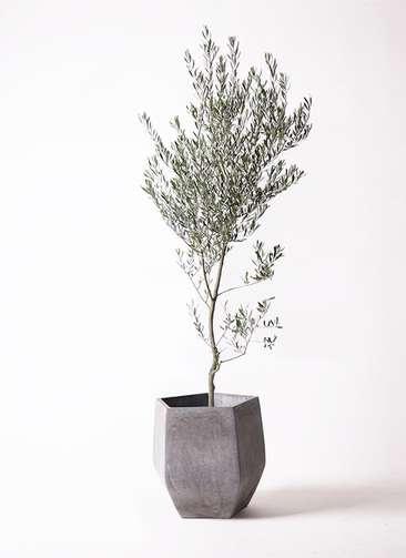 観葉植物 オリーブ 10号 創樹 ファイバークレイGray 付き