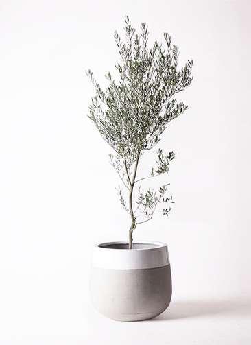 観葉植物 オリーブ 創樹 10号 ファイバーストーンタウルス ミドル 白 付き
