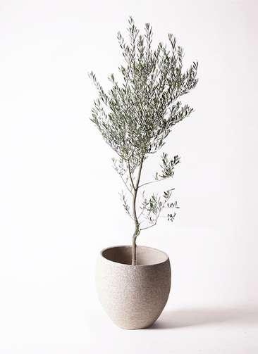 観葉植物 オリーブ 創樹 10号 エコストーンLight Gray 付き