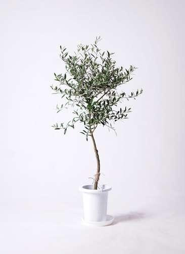 観葉植物 オリーブ 創樹 7号 プラスチック鉢