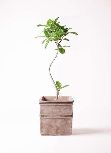 観葉植物 フィカス アルテシーマ 曲り 8号 テラアストラ カペラキュビ 赤茶色 付き