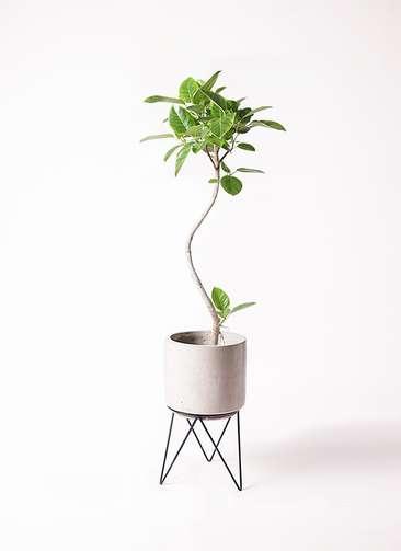 観葉植物 フィカス アルテシーマ 曲り 8号 ビトロ エンデカ 鉢カバースタンド付 クリーム 付き