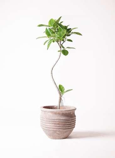 観葉植物 フィカス アルテシーマ 曲り 8号 テラアストラ リゲル 赤茶色 付き