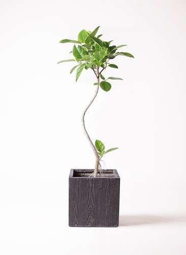 観葉植物 フィカス アルテシーマ 曲り 8号 ベータ キューブプランター ウッド 茶 付き