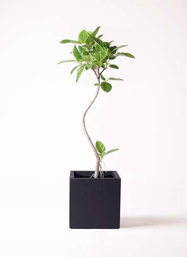 観葉植物 フィカス アルテシーマ 曲り 8号 ベータ キューブプランター 黒 付き