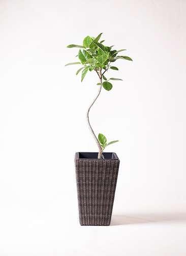 観葉植物 フィカス アルテシーマ 曲り 8号 ウィッカーポット スクエアロング OT 茶 付き