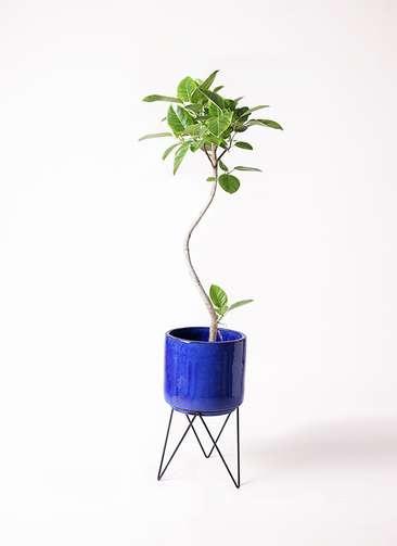 観葉植物 フィカス アルテシーマ 曲り 8号 ビトロ エンデカ 鉢カバースタンド付 ブルー 付き