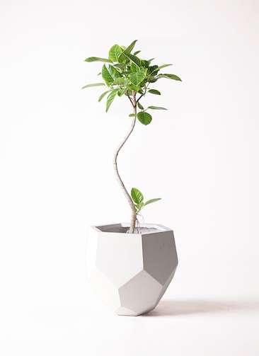 観葉植物 フィカス アルテシーマ 曲り 8号 ポリゴヘクサ 白 付き