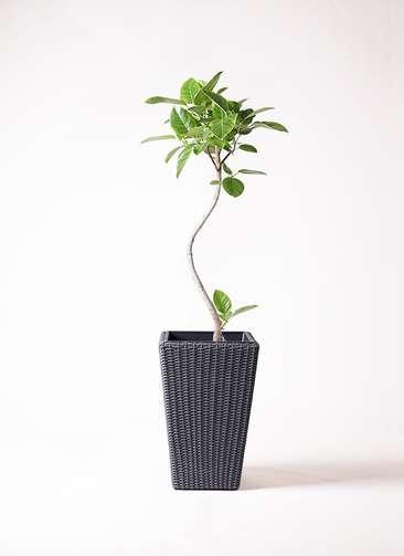 観葉植物 フィカス アルテシーマ 曲り 8号 ウィッカーポット スクエアロング OT 灰 付き