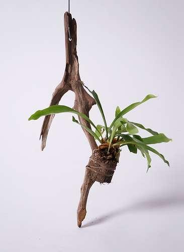 観葉植物 コウモリラン ビカクシダ 流木