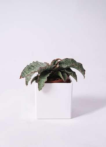 観葉植物 サンスベリア キルキイ シルバーブルー 4号