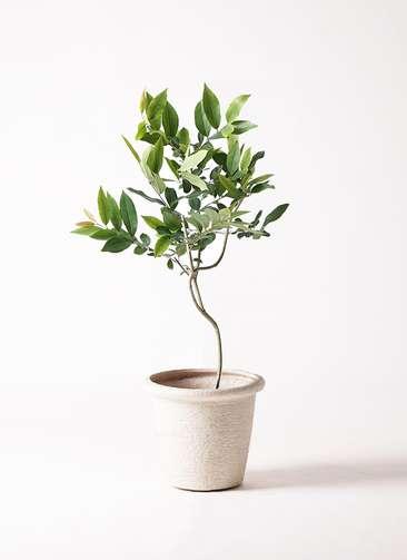 観葉植物 アマゾンオリーブ (ムラサキフトモモ) 8号 ビアスリムス 白 付き