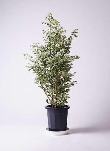 観葉植物 フィカス ベンジャミン 斑 10号 プラスチック鉢