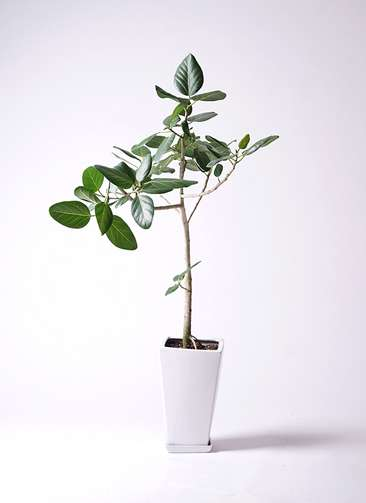 観葉植物 フィカス ベンガレンシス 8号 ストレート 角高陶器