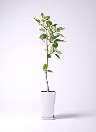 観葉植物 フィカス アルテシーマ 8号 ストレート 角高陶器