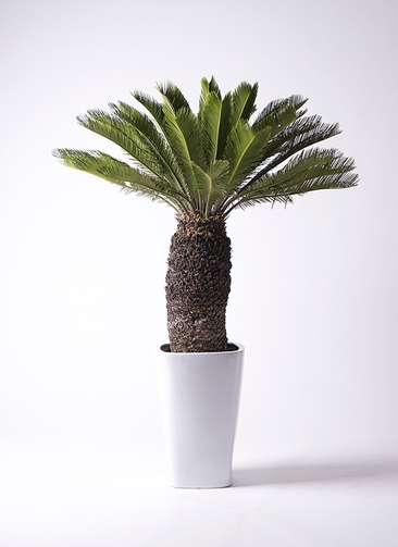観葉植物 ソテツ 12号 角高陶器
