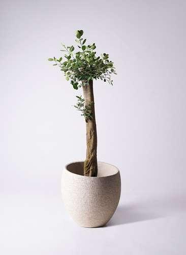 観葉植物 ガジュマル 9号 エコストーンLight Gray 付き