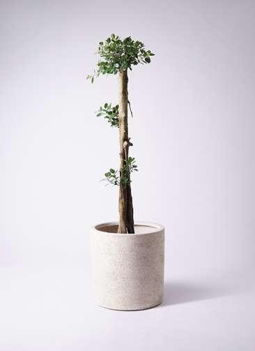 観葉植物 ガジュマル 10号サンディ シリンダー 白 付き