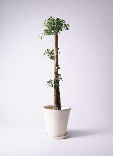 観葉植物 ガジュマル 10号サブリナ 白 付き