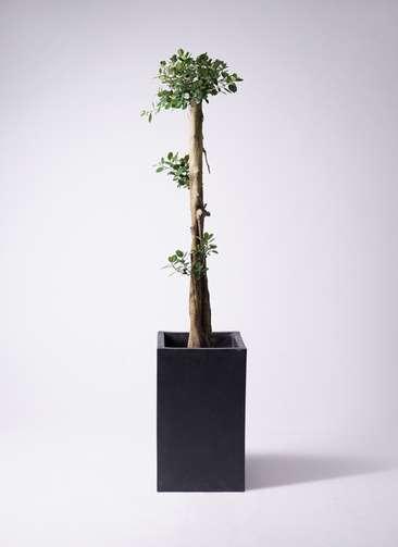 観葉植物 ガジュマル 10号セドナロング 墨 付き