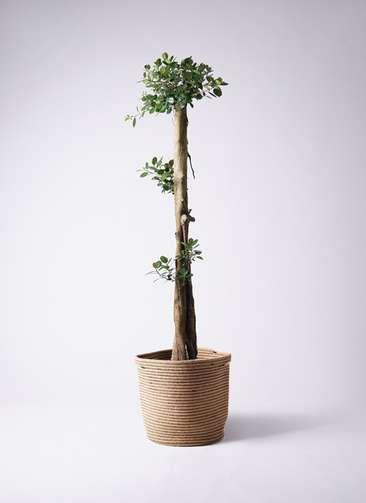 観葉植物 ガジュマル 10号リブバスケットNatural 付き
