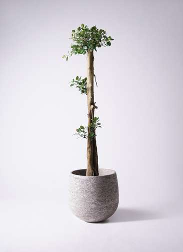 観葉植物 ガジュマル 10号エコストーンGray 付き