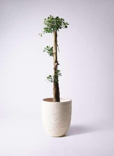 観葉植物 ガジュマル 10号ビアスアルトエッグ 白 付き