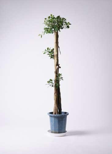 観葉植物 ガジュマル 10号プラスチック鉢