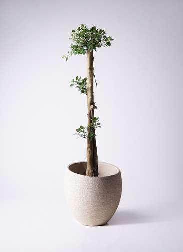 観葉植物 ガジュマル 10号エコストーンLight Gray 付き
