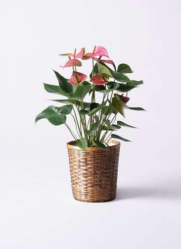 観葉植物 アンスリウム ピンクチャンピオン 6号 竹バスケット 付き