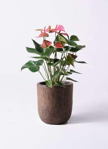 観葉植物 アンスリウム 6号 ピンクチャンピオン ビトロ ウーヌム コッパー釉 付き
