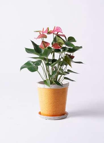 観葉植物 アンスリウム 6号 ピンクチャンピオン アンティークテラコッタOrange 付き