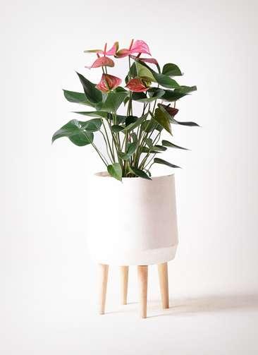 観葉植物 アンスリウム 6号 ピンクチャンピオン ファイバークレイ white 付き